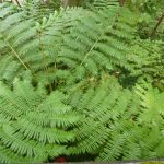 fougere arborescente(1)