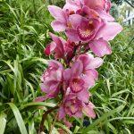 orchidée geante